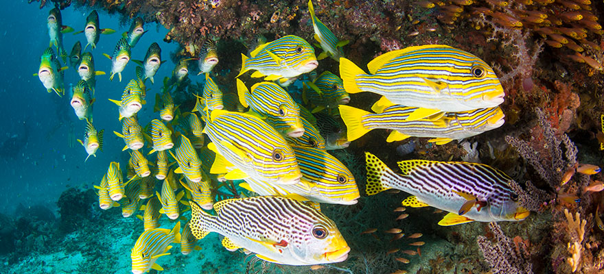 A school of colorful tropical fish swim together in a large group.