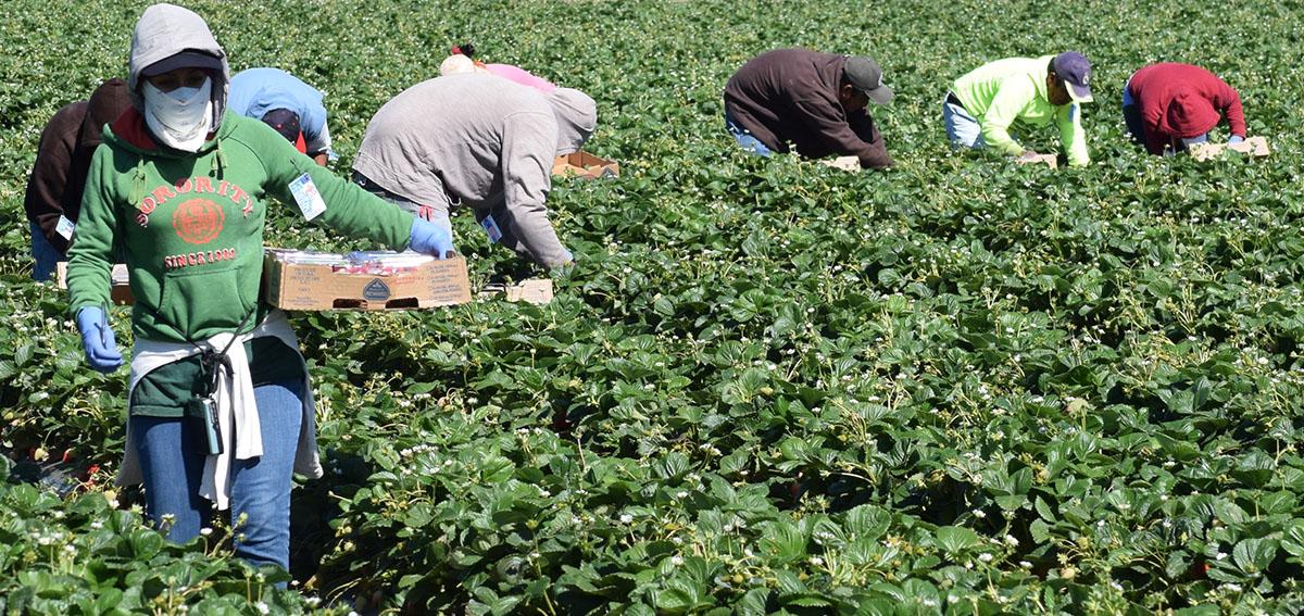 Seasonal farm workers pick and package strawberries