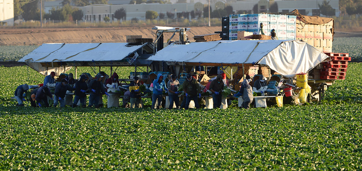 Workers harvest lettuce in Salinas Valley, California.