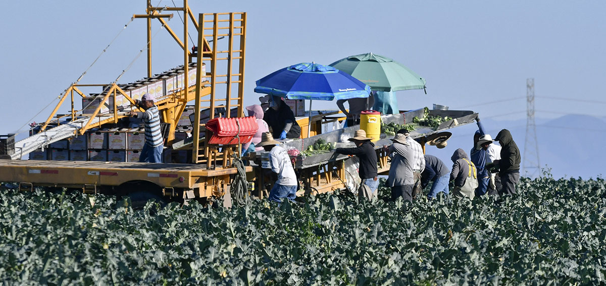 Farmworkers harvest broccoli in an Adams Brothers Farm field near Santa Maria, Calif.